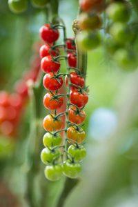 Farma Babindol pestovanie cherry paradajok, McDreamy a Tramezzino