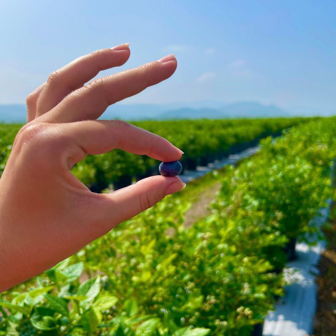 Ovocná farma - Najväčší čučoriedkový sad na Slovensku